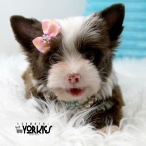 Colorful Yorkies has 2018 Exotic Colored Yorkies Puppies For